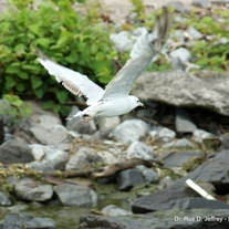 Wm_-_seagull_in_flight_medium