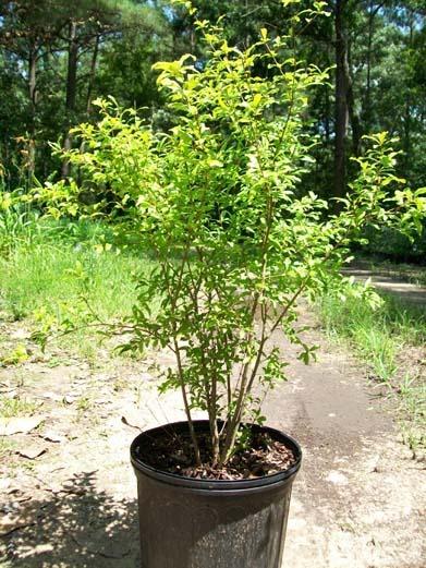 Dwarf Pomegranate 3 Gal Live Healthy Tree On Storenvy