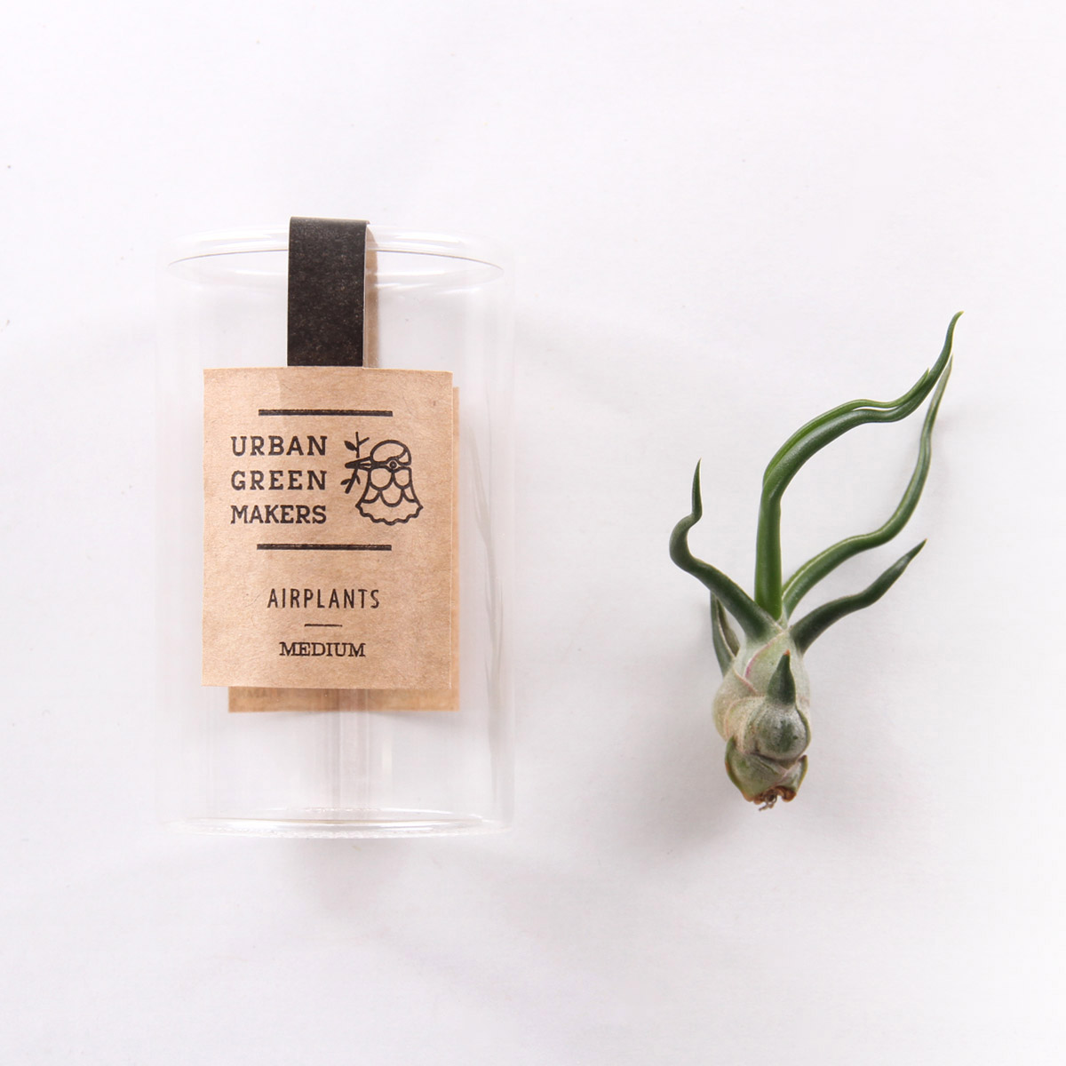 Bulbosa Air Plant In Jar Free Shipping Sold By Urban Green
